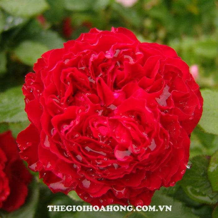 Hoa hồng bụi traviata
