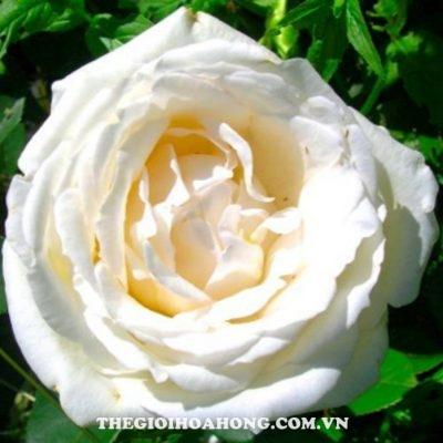 Hoa hồng bụi white chrismas