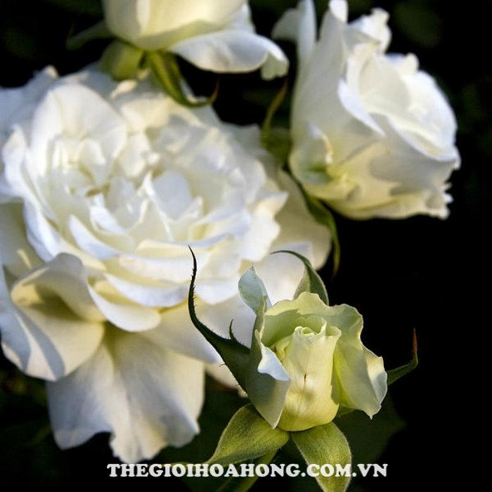 Hoa hồng bụi white masterpiece