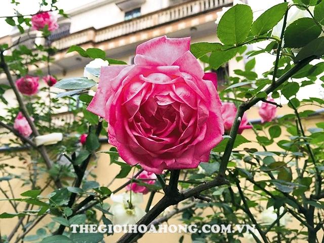 Hoa-hồng-cổ-sapa-3