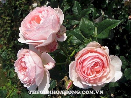 Hoa hồng heritega