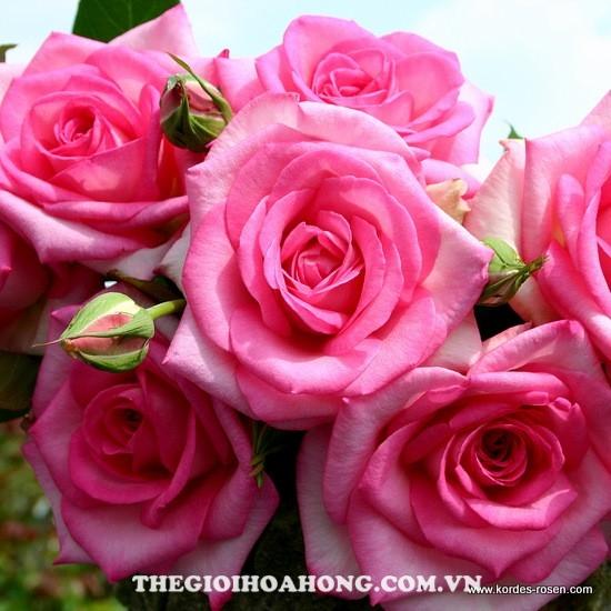hoa hồng leo Beverly