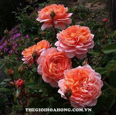 Hoa hồng leo Carding Mill