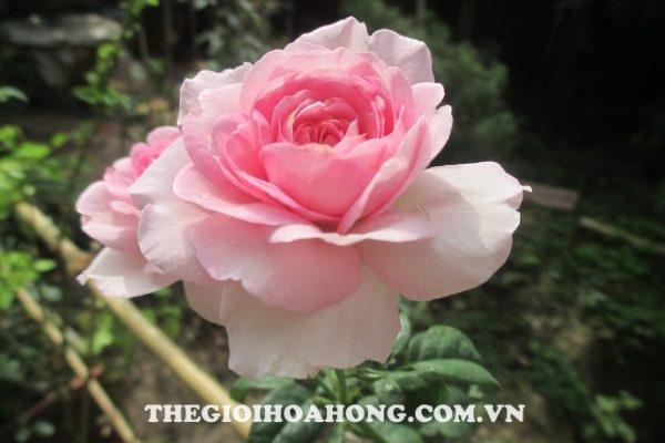 Hoa hồng leo Coeur