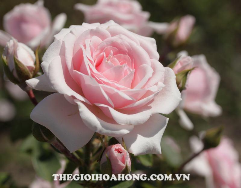 hoa hồng leo Diadem