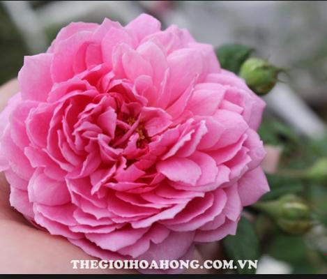 Hoa hồng leo Hồng Tâm