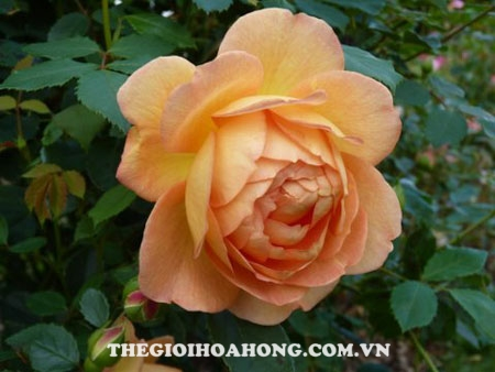 Hoa hồng leo Lady of Charlotte