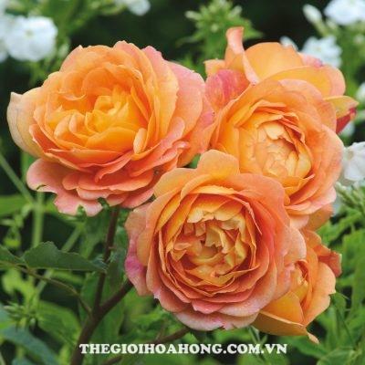 Hoa hồng leo Lady of Shalotte