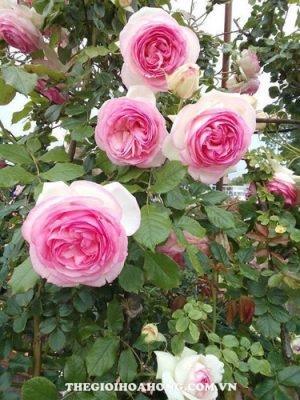 Hoa hồng leo Loan Vũ