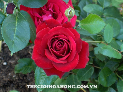 Hoa hồng leo Mộng Vy