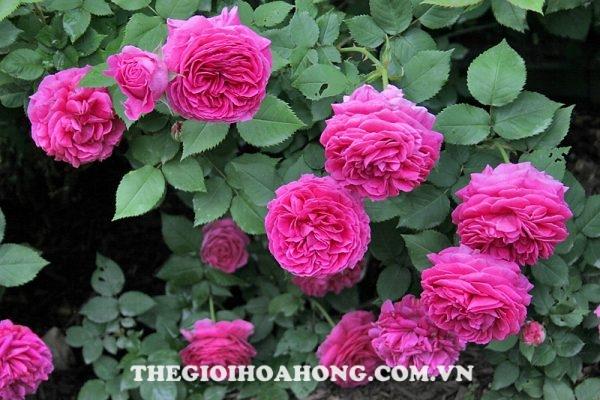 Hoa hồng leo ME isaac pereire