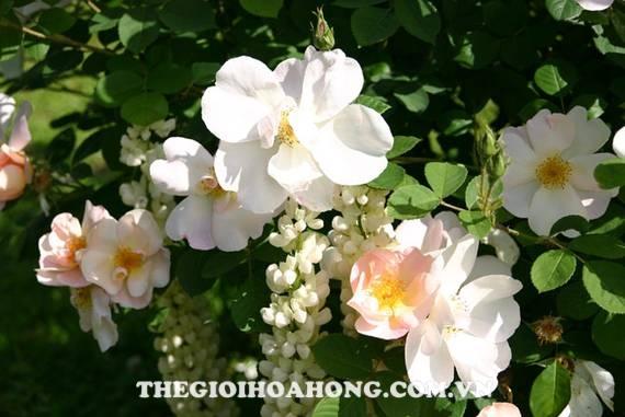 Hoa hồng leo Shropshire Lass