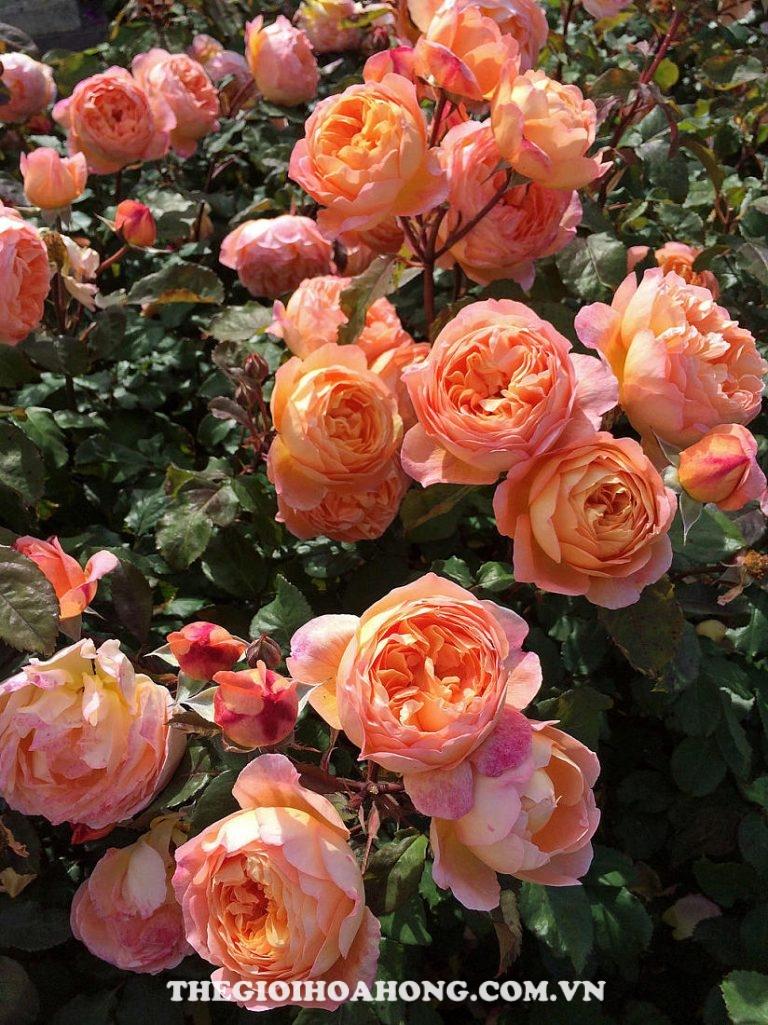Hoa hồng leo The Lady of Shalott