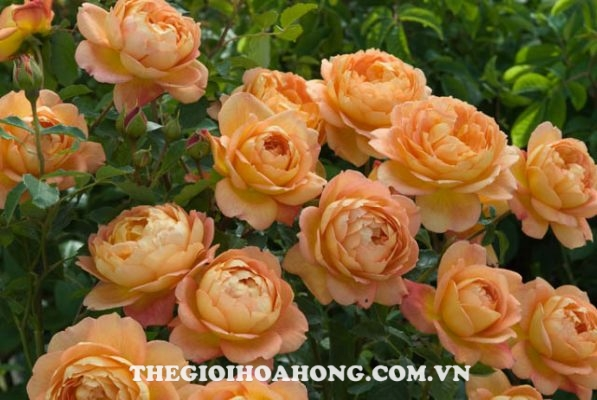 Hoa hồng leo The Lady of Shalott