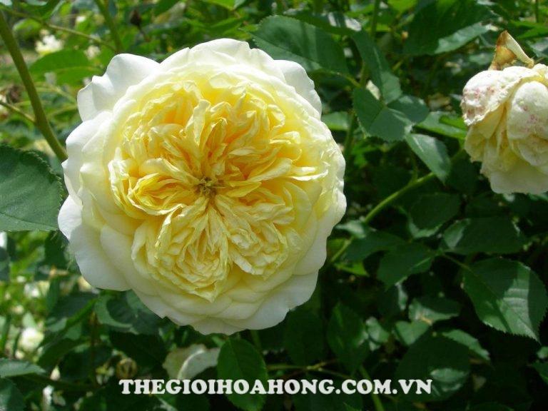 Hoa hồng leo The Pilgrim rose(David Austin)