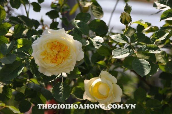 Hoa hồng leo The Pilgrim rose