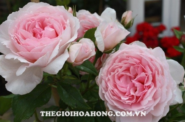 Hoa hồng leo The wedgewood