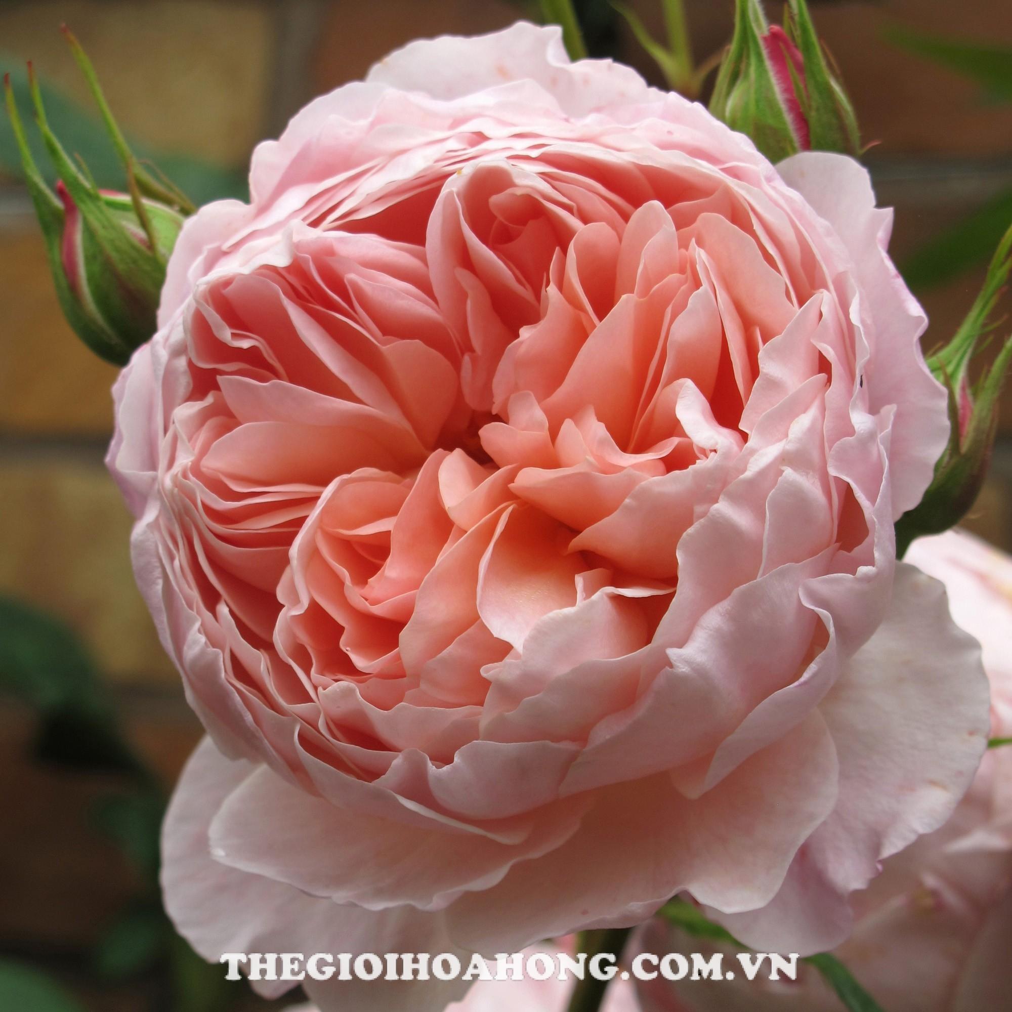 hoa hồng leo William Morris