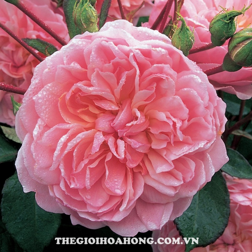 hoa hồng Anne Boleyn