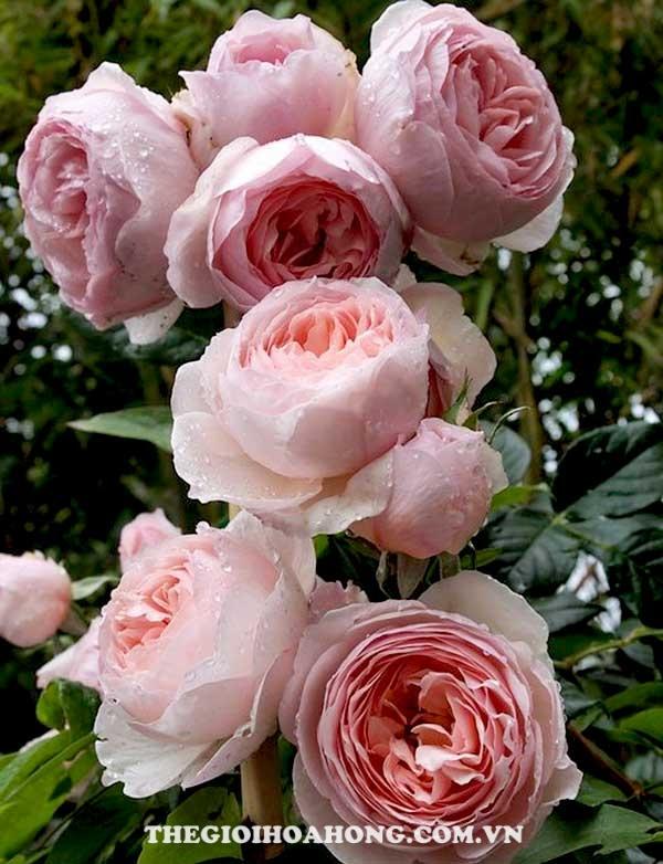 Hoa hồng leo heritega