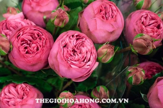 hoa hồng leo Pink Piano