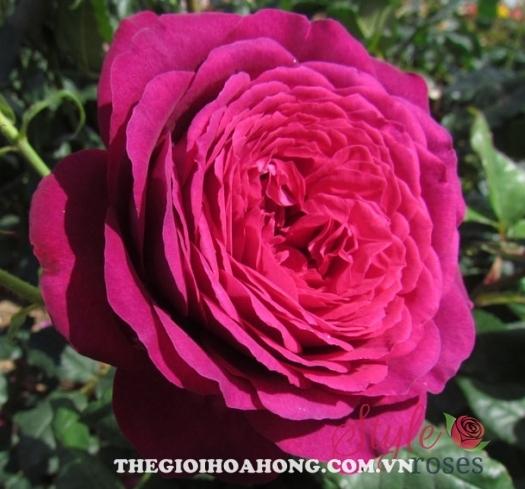 hoa hồng leo Purple Prince