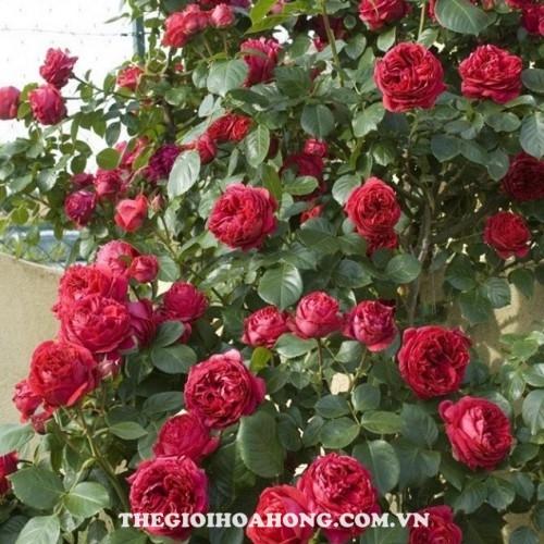 Hoa hồng leo red eden 2
