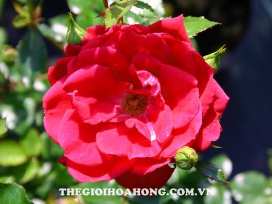 hoa hồng Red New Dawn