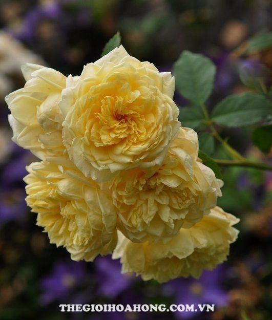 hoa hồng leo St.Alban