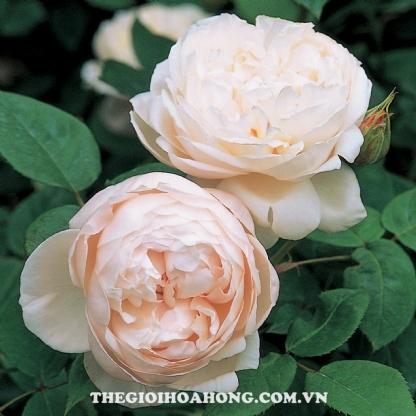 hoa hồng st.cecilia