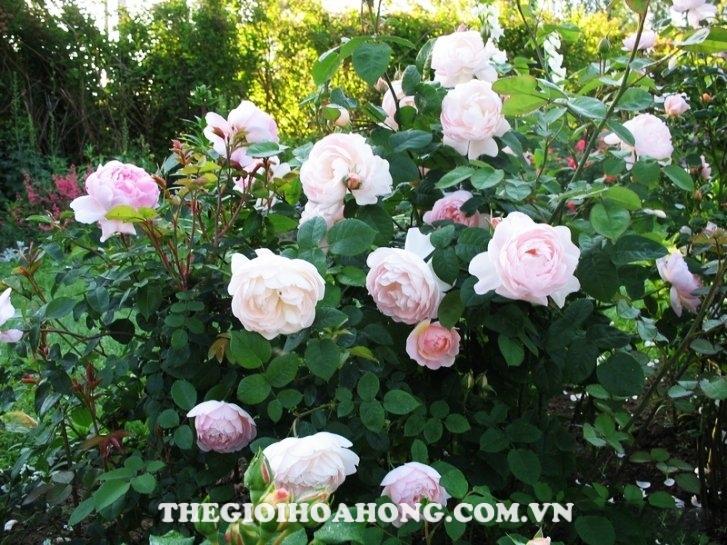 Hoa hồng ngoại Gentle Hermione Rose