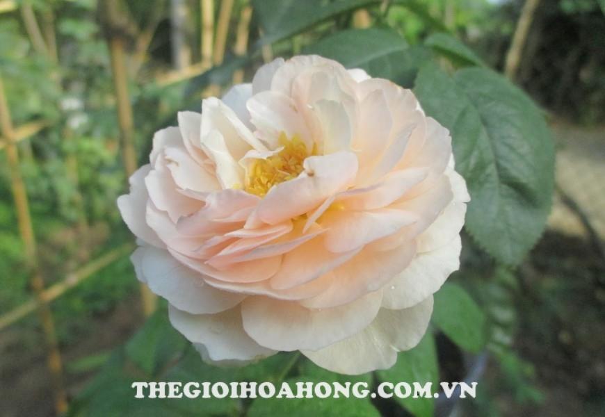 Hoa hồng ngoại Shepherdess Rose