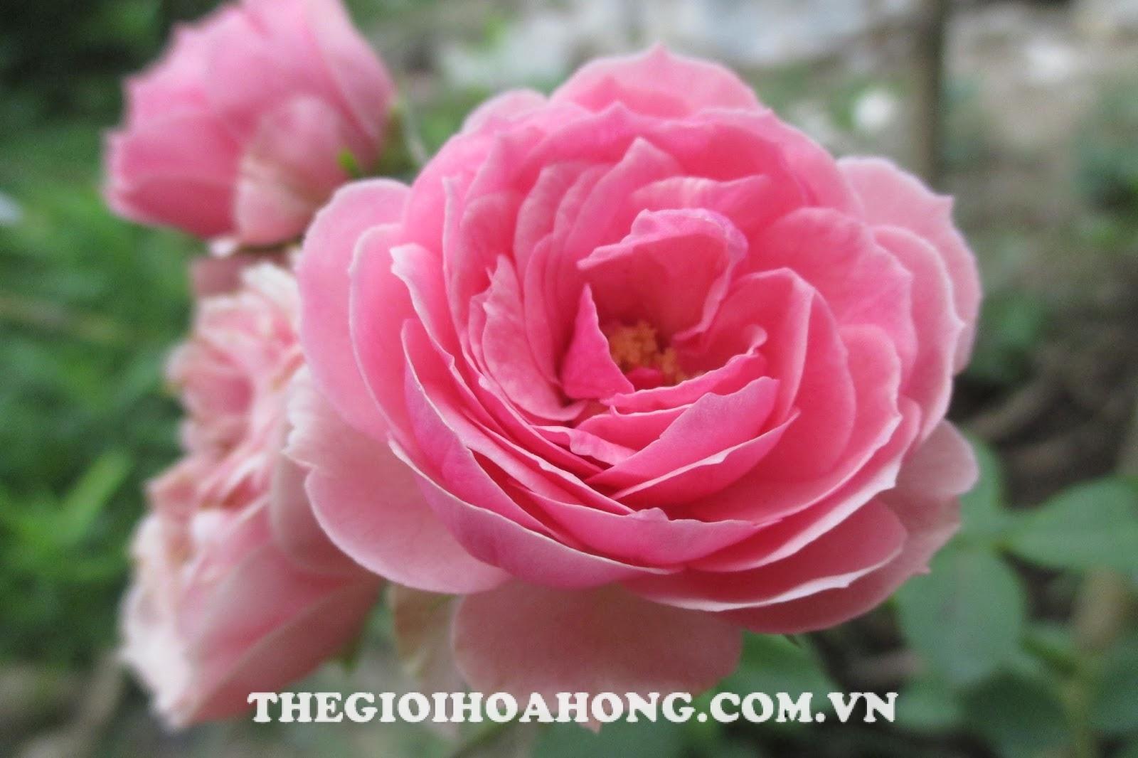 Hoa hồng ngoại The Ingenious Mr. Fairchild Rose