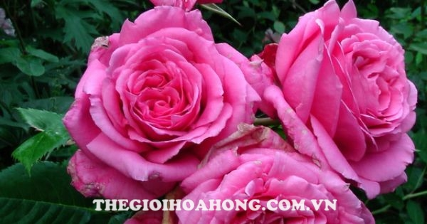 Hoa hong leo BIENVENUE ROSE 1