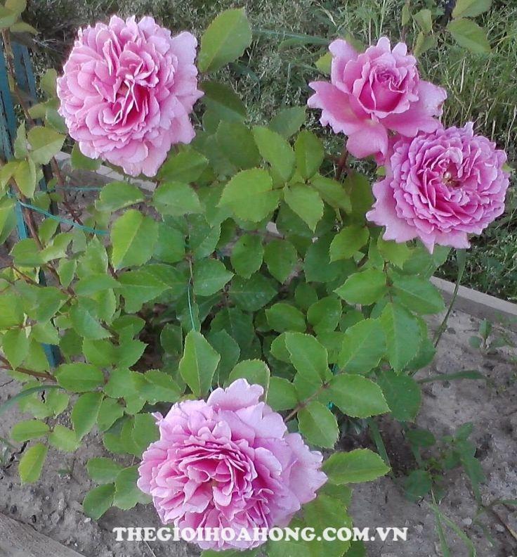 Hoa hong leo BIENVENUE ROSE 1