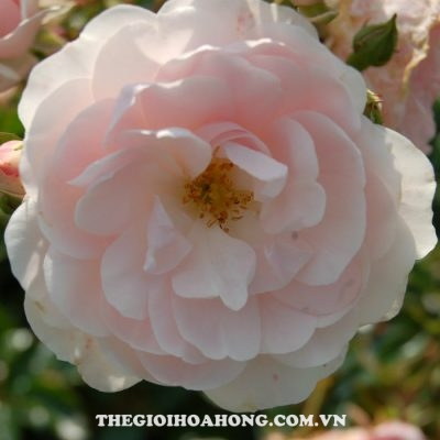Hoa-hong-tree-rose-sea-foam-khoe-sac