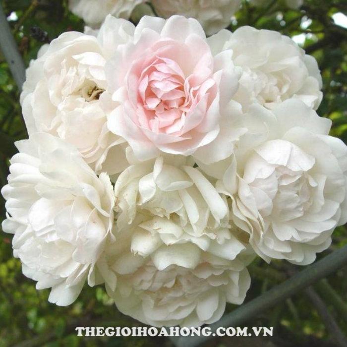 Hoa-hong-tree-rose-sea-foam