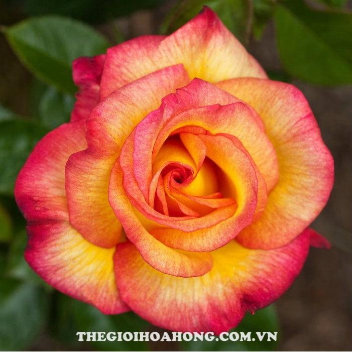 """Hoa-hong-tree-rose-sheila""""s-perfume"""