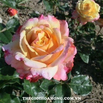 Hoa hồng tree rose kordes jubilee tree rose