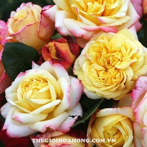 Hoa hồng tree rose kordes jubilee