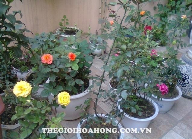 Mẹo chọn chậu trồng hồng thích hợp