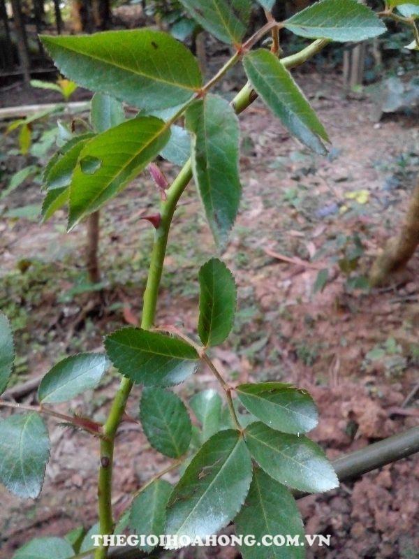 Mẹo chọn nhánh hồng ghép cành có tỉ lệ sống cao