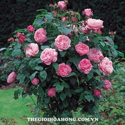 Hoa hồng Mary Tree Rose