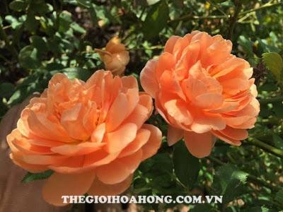 Hoa hồng leo Pat Austin màu cam