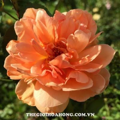 Hoa hồng leo Pat Austin không nở theo form
