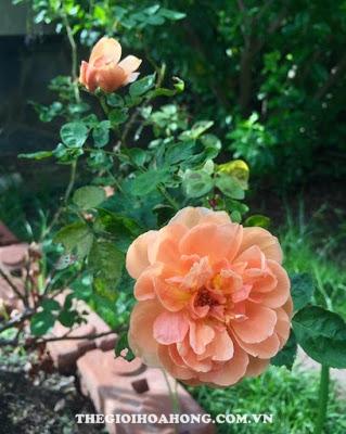 Câu Hoa hồng leo Pat Austin