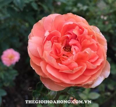 Câu Hoa hồng leo Pat Austin mới nở có hoa màu hồng đậm