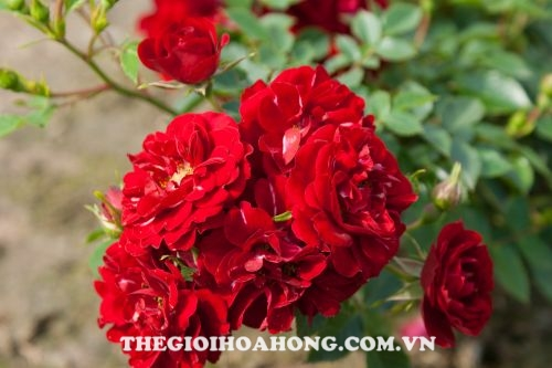 Hoa hồng Tree Rose Red Fairy