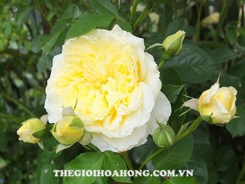 Hoa hồng Tree Rose the pilgrim tree rose
