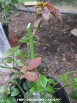 Tháo bọc nylon cho nhánh hồng Đà Lạt ghép